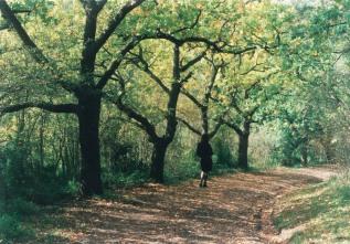 Yallambie Park oak avenue, 1995.