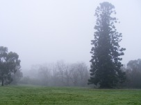 Misty morning with Hoop pine, August, 2014.
