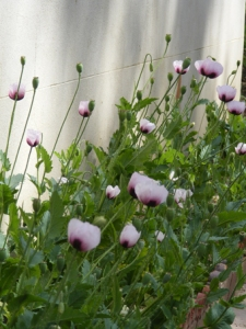 Yallambie poppies