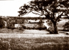 Ancient River Red Gum at Lower Plenty, c1925.
